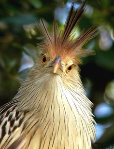 "A Guira Cuckoo: ""This is how I REALLY look! Although you did startle me!"""