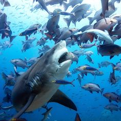 Shark - marine life Shark - marine life - The life of a shark under the ocean Shark Pictures, Shark Photos, Species Of Sharks, Underwater Animals, Shark Art, Under The Ocean, Great White Shark, Ocean Creatures, Ocean Life