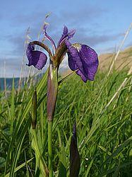 Arctic Iris (Iris setosa) Kuril National Reserve, cordon Ivanovskiy, Grozovoye hole, Kunashir Island, Kuril Islands, Far East, Russia