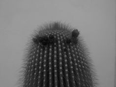 Plant: Cactus