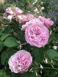 Rosier LAVENDER ICE by FilRoses Le Temps des Roses, via Flickr - www.filroses.com