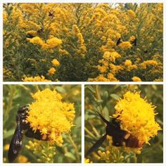 Dozens of adult blue-winged wasps (Scolia dubia) feed on goldenrod nectar in the landscape outside the National Air and Space Museum.  The larvae of this beneficial wasp feed on plant-damaging beetle grubs in the soil including Japanese beetles and green June beetles.