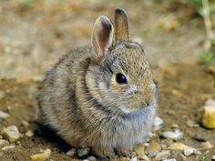 """Hares are less social than bunnies, and their lively courtship and skittish behavior likely inspired the term """"harebrained."""""""