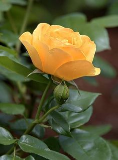 Roses Only, Rose Flower Wallpaper, Good Morning Wallpaper, Beautiful Nature Pictures, One Rose, Beautiful Rose Flowers, Carnivorous Plants, Exotic Plants, Yellow Roses