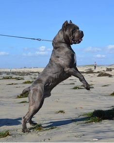 S A V A G E  #tb #repost #savage #beast #sexybeast #doyouevenlift #gains #leangains #chest #thatheadtho #blockhead #boss #bossman #bossup #imperialbeach #california #puppies #puppiesavailable #gotti #og #50shadesofgrey #mrgreywillseeyounow #canecorsoitaliano #canecorso #canecorsosofinstagram #canecorsolovers #canecorsolove #italianmastiff #mastiff #mastiffsofinstagram #imperialbeachlocals #sandiegoconnection #sdlocals #iblocals - posted by GOTTI - VICTORIA - DRITA…