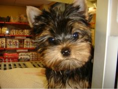 Yorkie- hi there little fellow