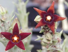 Orbea semitbiflora