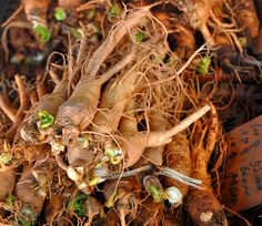 How to Grow Ginseng