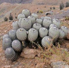 Copiapoa cinerea d Chile Blooming Succulents, Cacti And Succulents, Cactus Plants, Garden Plants, Unusual Plants, Agaves, Desert Plants, Botany, Habitats