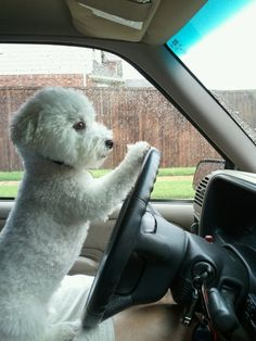 Here's a photo of a Dog Driving