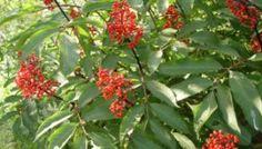 L'huile essentielle Nard de l'Himalaya ou Nard Jatamansi