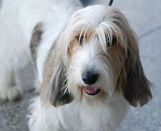 """Read """"Petit Basset Griffon Vendeens for Beginners"""" by Debra Kettner available from Rakuten Kobo. The PBGV is more like a terrier-like in temperament, and Basset Hound in appearance. Scottish Terrier, Irish Terrier, Fox Terrier, Terriers, Petit Basset Griffon Vendeen, Tallest Dog, Basset Hound, Hound Dog, Dog Photography"""