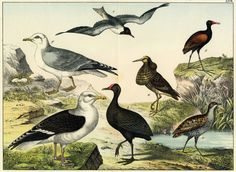 1841 SCHUBERT WATERBIRDS Pl.XXVII: Huge Panorama Double-Folio Colored Lithograph