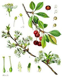 Prunus cerasus: Sour cherry is closely related to the sweet cherry (Prunus avium), but has a fruit that is more acidic, has greater nutritional benefits, and may have greater medicinal effects. Image credit: Franz Eugen Köhler, Köhler's Medizinal-Pflanzen - List of Koehler Images