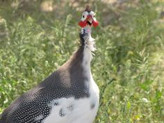 Exotic Guinea Fowl - African and Australian KQCK Radio and Television Network www.kqck.com