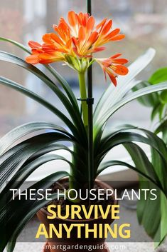 25 Hard To Kill Houseplants That Will Thrive In Your Home - Smart Garden Guide 25 wonderful plants that look amazing, are easy to care, and will survive a lot of neglect. Easy Care Indoor Plants, Easy House Plants, Indoor Flowering Plants, Best Indoor Plants, House Plants Decor, Indoor Flowers, Plant Decor, Snake Plant Care, Indoor Gardening Supplies