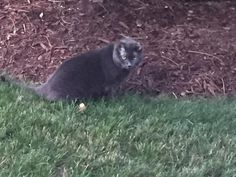 Debbie De Pillo to CT Lost Pets 3 hrs ·  This cat is hanging around Oronoke Woods Condo's Building 10 in Waterbury. Haven't seen him/her around here before. Very friendly if anyone is missing their cat. grey https://www.facebook.com/photo.php?fbid=10210199164045697&set=o.513849385403608&type=3&theater