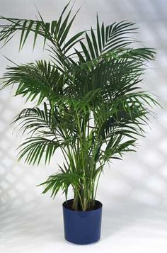 To go with my slightly jungle themed apartment...just needs large pot. Google Image Result for http://images.plant-care.com/california-kentia.jpg