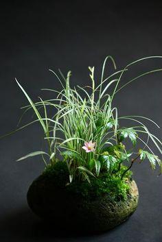 Japanese Ishizuke plant