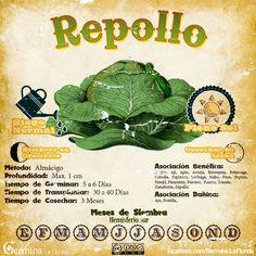 Repollo2.jpg (700×700)