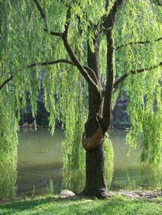 More James Madison University Arboretum...a lovely willow with a basket beneath it where one can leave poetry...