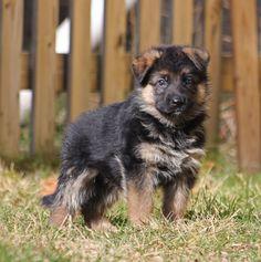 My german shepherd puppy!