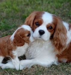 King Charles Puppy, Cavalier King Charles Dog, Cavalier King Spaniel, Cute Baby Dogs, Spaniel Puppies, Cocker Spaniel, Cute Dogs And Puppies, Doggies, Cute Little Animals