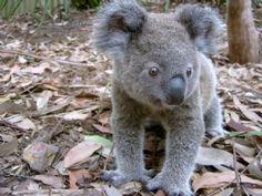 Koala - Phascolarctos cinereus - Australia Reptile Park