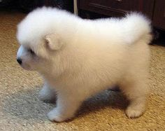 puppy Samoyed oh my god it's so fluffy