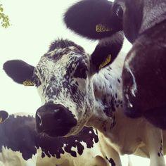 Swedish Mountain breed cow