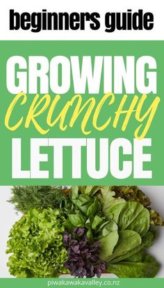 Lettuce is one of those plants that everyone should be growing. It is very easy to grow and so versatile in the kitchen. Nothing beats fresh, crunchy lettuce from the garden or window box. This beginners guide for growing lettuce will show you everything you need to know about getting started growing lettuce in your garden. Growing Vegetables At Home, Easy Vegetables To Grow, Vegetable Gardening, Container Gardening, Organic Gardening, Gardening For Beginners, Gardening Tips, Storing Lettuce, How To Harvest Lettuce
