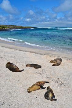 Sea lions lounging around - La Loberia, San Cristobal, Galapagos Galapagos Trip, Galapagos Islands, Ecuador, Travel Around The World, Around The Worlds, Beach Trip, Beach Travel, Photos Voyages, Nature Images