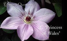 Clematis 'Princess of Wales'
