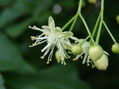 tilia cordata - tilleul à petites feuilles