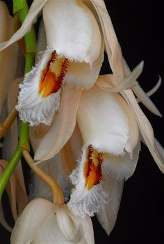 Coelogyne calcicola - Flickr - Photo Sharing!