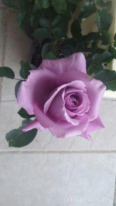 Rosa lila.