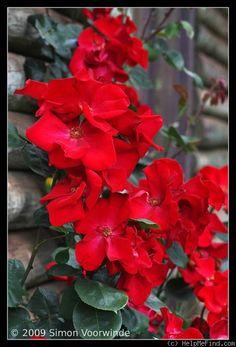 'Altissimo ' Rose Photo