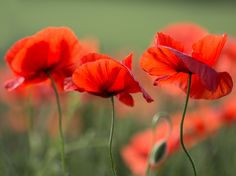 Remembrance Poppy, Fb Covers, Gras, Red Poppies, Provence, Beautiful Flowers, Cool Photos, Bouquet, Colours