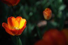 Japão tulip 2009