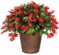 Christmas Cactus Care Instructions - HGTV HOME Plants - KNOW HOW!