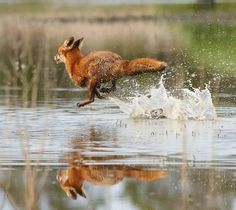 Fox on the run.
