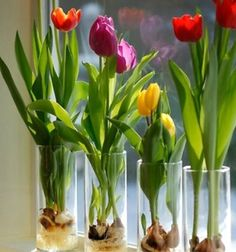 Tavaszi hagymás virágok nevelése lakásban egyszerűen
