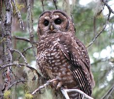 Spotted Owl (Strix occidentalis) - Picture 16 in Strix: occidentalis - Location: Oregon, USA Photo by Chris Warren.