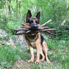 Wicked Training Your German Shepherd Dog Ideas. Mind Blowing Training Your German Shepherd Dog Ideas. Big Dogs, I Love Dogs, Cute Dogs, Dogs And Puppies, Doggies, German Sheperd Dogs, German Shepherds, Giant German Shepherd, Shepherd Dogs