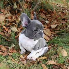 Cute Baby Dogs, Cute Cats And Dogs, Cute Dogs And Puppies, I Love Dogs, Doggies, Cutest Small Dog Breeds, Small Breed, French Bulldog Puppies, French Bulldogs