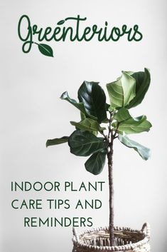 Tips for indoor plants, including easy to grow indoor plants, how often to water indoor plants, and all of the easiest indoor plants. Say goodbye to your black thumb! We've made caring for your indoor plants simple and fun! Indoor Palm Trees, Indoor Palms, Indoor Plants Low Light, Gardening For Beginners, Gardening Tips, Indoor Gardening, Low Maintenance Indoor Plants, Natural Air Freshener, Fiddle Leaf Fig Tree