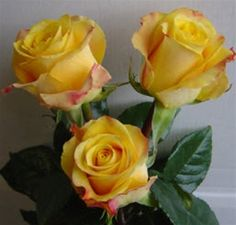 Marie Claire yellow rose