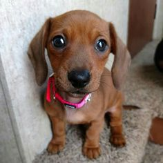 """Figure out more info on """"dachshund pups"""". Look at our internet site. Dachshund Funny, Dachshund Puppies, Weenie Dogs, Dachshund Love, Cute Dogs And Puppies, Baby Dogs, Doggies, Dachshund Clothes, Dapple Dachshund"""