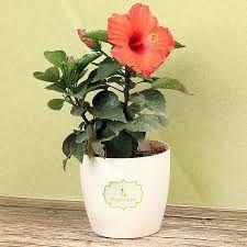 Aceste flori atrag iubirea și fericirea! Top 10 cele mai necesare plante în casă - Eu stiu Saintpaulia, Kids Poems, Hibiscus, Planter Pots, Tropical, Tudor, Flowers, Table Decorations, Design