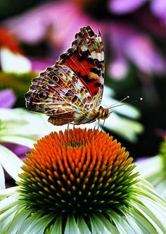 Painted Lady butterfly by ophelia ❤ Butterfly Kisses, Butterfly Flowers, Butterfly Wings, Beautiful Bugs, Beautiful Butterflies, Beautiful Things, Fotografia Macro, Butterfly Pictures, Woman Painting